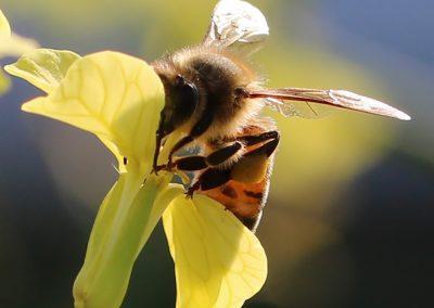 Alyssa Meyer - Sunny Honey Bee