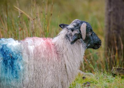 Brian Rayle - Punked-out Sheep