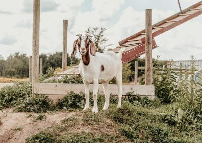 Sydney Swanson - Boer Goat